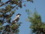 Lesser Grey Shrike.jpg