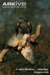 Northern-goshawk-male-with-sparrowhawk-prey.jpg